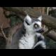 Kŕmenie lemurov v ZOO Bratislava